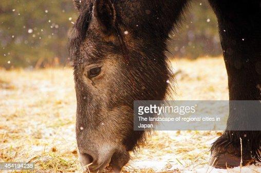 Tough horse called Kandachime : Foto de stock