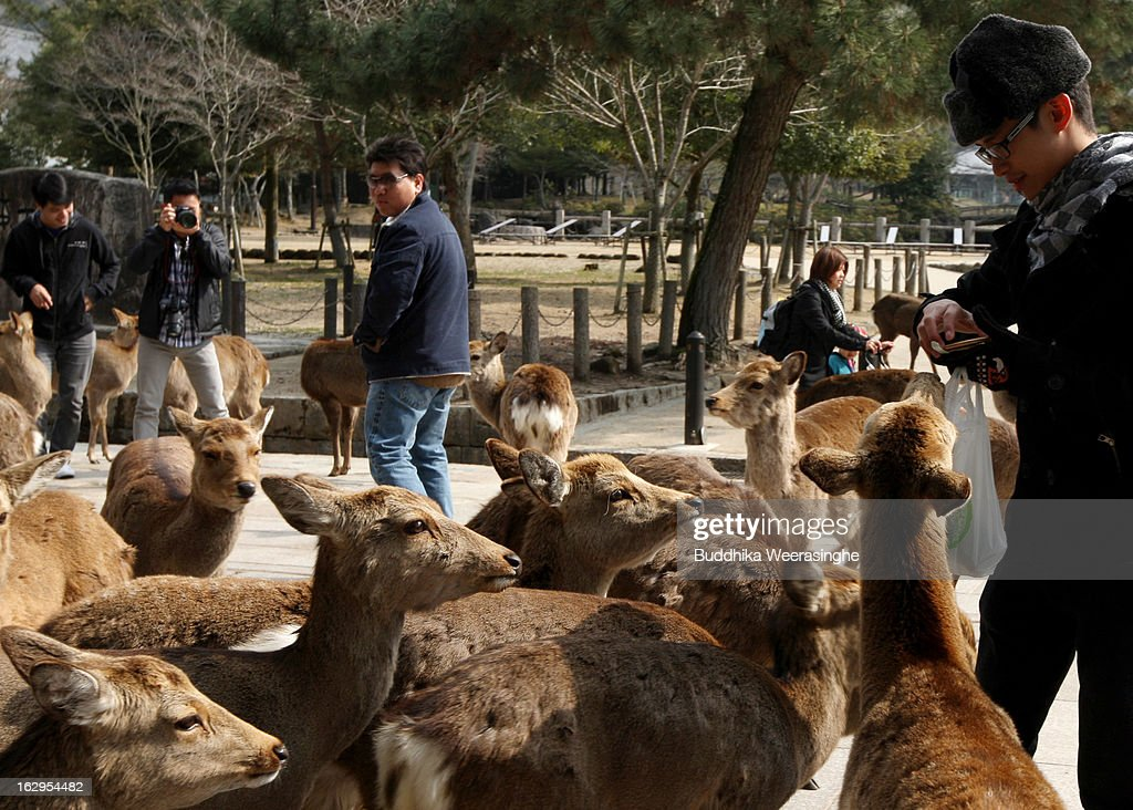 A tourist feed the Japanese deer on the entrance road of the Todaiji Temple on March 2, 2013 in Nara, Japan. The Japanese deer which roam freely in the grounds of the Todaiji Temple were believed to be messengers of the gods and have now been designated as a National Treasures. The Buddhist Todaiji Temple was built in 752 AD and is now one of seven sites in Nara to be listed as a UNESCO World Heritage Site.