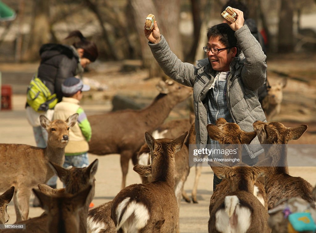A tourist feed the Japanese deer on the entrance road of the Todaiji Temple on March 2, 2013 in Nara, Japan.Hundreds of freely roaming deer living in front of the Todaiji Temple are Considered messengers of the gods in the Shinto religion. Nara's deer have become a symbol of the city and have even been designated a National Treasure.