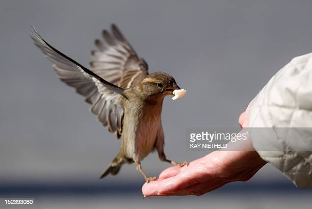 A tourist feeds a sparrow on September 20 2012 in Berlin's city center AFP PHOTO / KAY NIETFELD GERMANY OUT