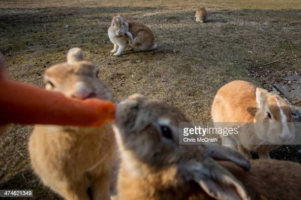 A tourist feeds rabbits on Okunoshima Island on February 24 2014 in Takehara Japan Okunoshima is a small island located in the Inland Sea of Japan in...