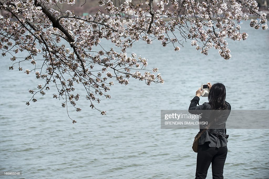 A tourist photographs cherry blossoms along the Tidal Basin on April 7, 2013 in Washington. Tourists visited the National Mall along the Tidal Basin to view blooming cherry trees, some of which were a gift from Japan in 1912, as the weather warms and spring arrives. AFP PHOTO/Brendan SMIALOWSKI