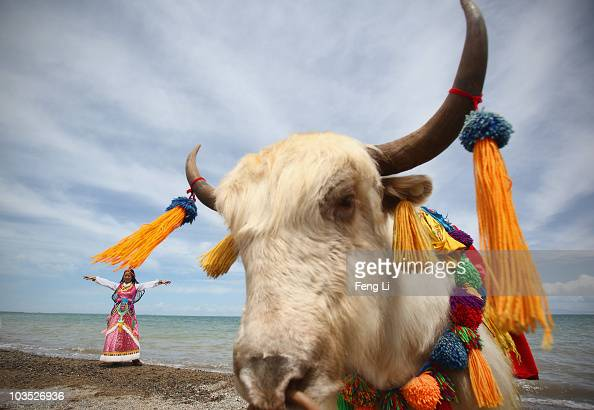 A tourist puts on Tibetan clothes rented and takes photos as a white yak stands nearby at the bank of Qinghai Lake on August 21 2010 in Xining of...