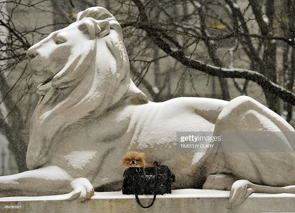 A tourist puts their dog next to the New York Public Library Lion for a photo in New York as the area gets hit with a strong winter storm on January 21, 2014. In New York, a storm alert was issue for noon (1700 GMT) Tuesday to 6:00 am (1100 GMT) Wednesday with as much as a foot (30 centimeters) forecast for the metropolitan region. AFP PHOTO / TIMOTHY CLARY