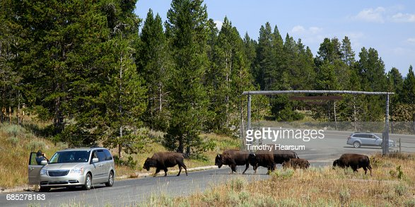 Tourist takes photos as bison cross the road : Stock Photo