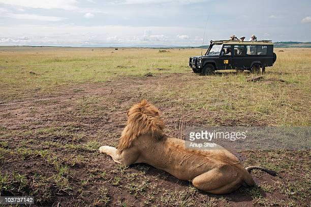 Tourist vehicle on safari watching lions