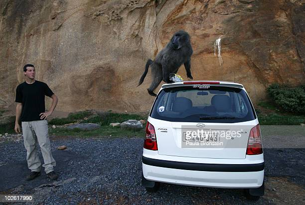 A tourist watches as a baboon climbs on his rental car July 3 2010 in Capetown South Africa Urbanization is believed to be the main reason for the...