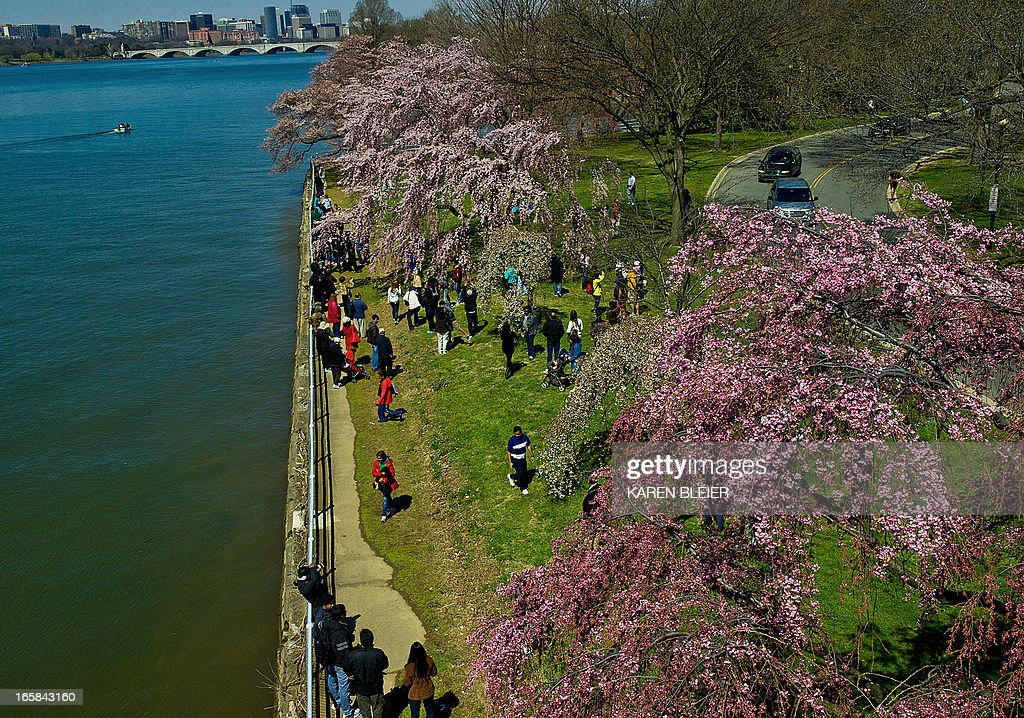 Tourists gather around blooming Cherry trees near the Potomac River on April 6, 2013 in Washington, DC. A handful of the trees are in full bloom as unseasonably cool temperatures have kept most flowering. AFP PHOTO/Karen BLEIER