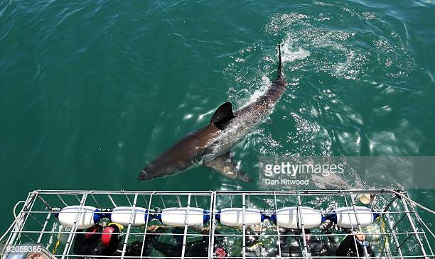Tourists get up close to a Great White Shark as it swims past the cage on October 18 2009 in Gansbaai South Africa The waters off Gansbaai are the...