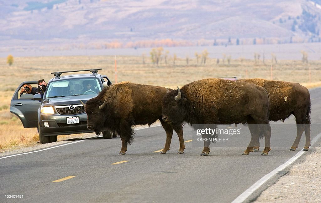 Tourists man cameras as buffalo cross a road October 4 2012 in the Grand Teton National Park in northwestern Wyoming Approximately 310000 acres in...