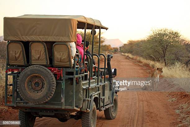 Tourists on Safari Jeep Watching Lion in Namibia Africa