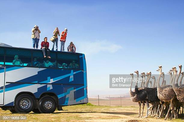 Tourists on top of coach photographing ostriches (Digital Composite)