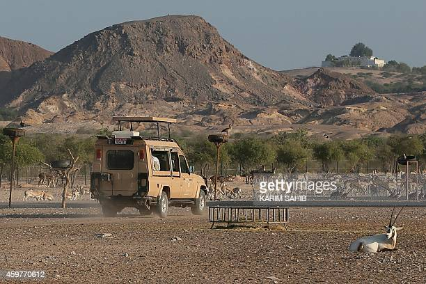 Tourists ride in a jeep during a safari on Sir Bani Yas Island one of the largest natural islands in the United Arab Emirates on November 27 2014 The...