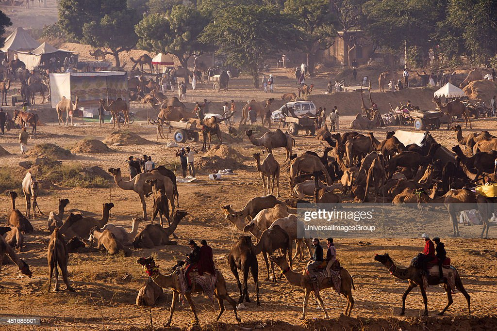 Tourists riding camels at Pushkar Camel Fair Pushkar Ajmer Rajasthan India