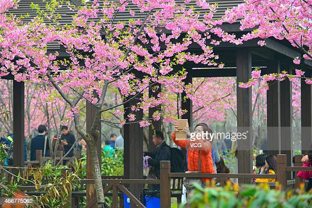 Tourists take photos of cherry blossom during the Cherry Blossom Festival at Gucun Park on March 18 2015 in Shanghai China Cherry Blossom Festival...