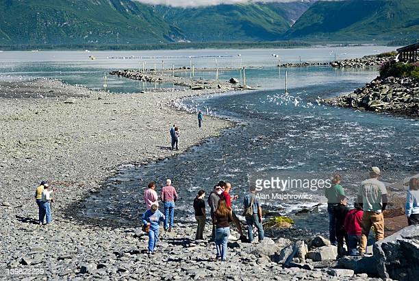 Tourists view spawning salmon attempting to move upstream near Solomon Gulch fish hatchery. Prince William Sound, Alaska. USA