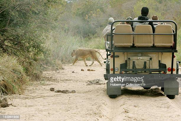 Tourists viewing Lioness Ulusaba Private Game Lodge Kruger National Park South Africa Africa