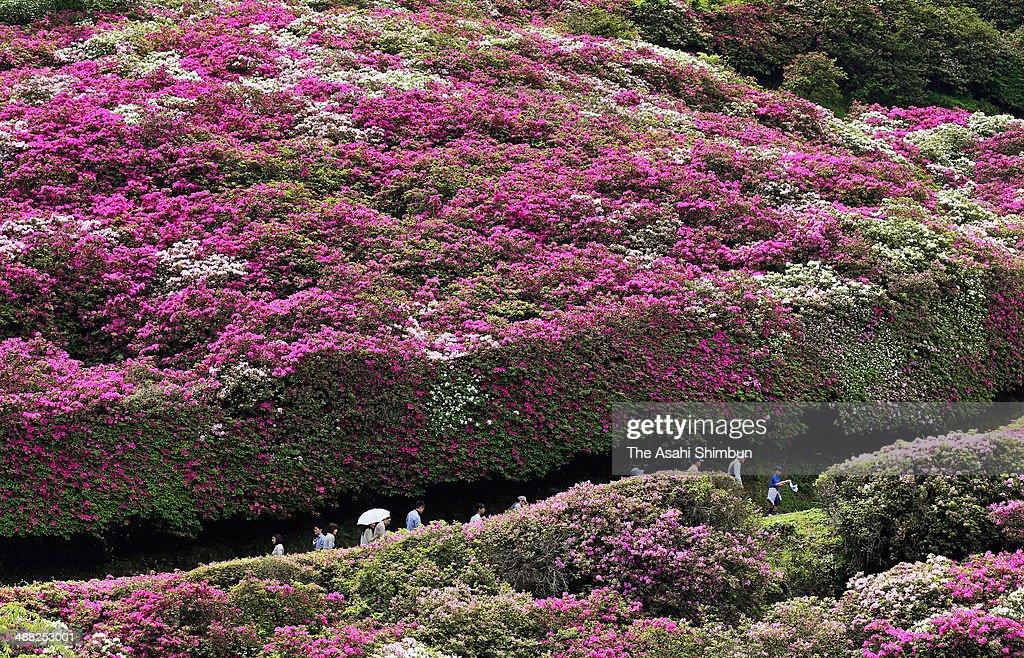 Tourists walk among the fully bloomed azalea at Misumi Park on May 4, 2014 in Hamada, Shimane, Japan.