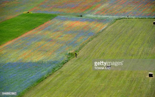 TOPSHOT Tourists walk in the middle of flowers in bloom including lentil fields and poppies near Castelluccio a small village in central Italys...