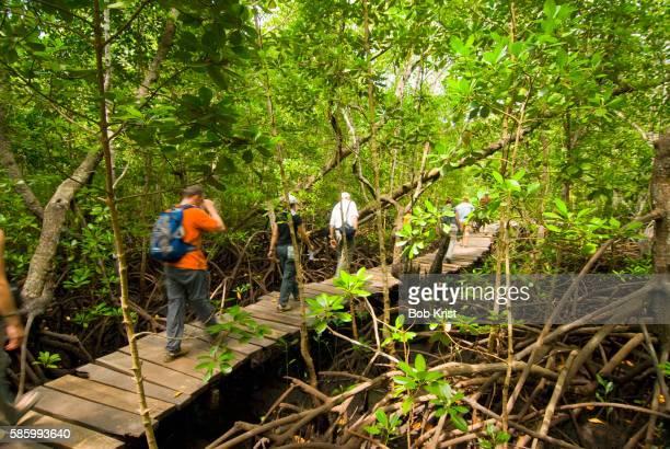 Tourists Walking on Boardwalk Through Mangrove Swamp
