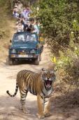 Tourists watch female Bengal tiger Panthera tigris tigris in Ranthambore National Park Rajasthan India