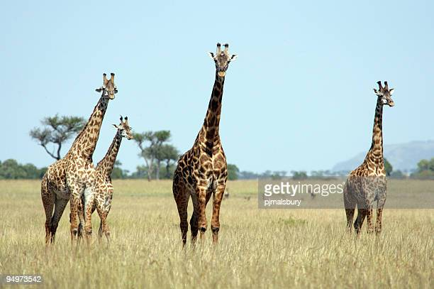 Tower of Giraffe