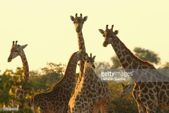 A tower of giraffes at sunrise in the Mashatu game reserve on July 27 2010 in Mapungubwe Botswana Mashatu is a 46000 hectare reserve located in...
