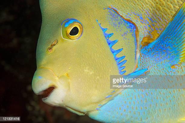 Townsend angelfish, Florida