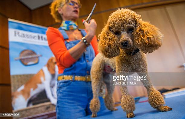 Toy poodle 'Bella' undergoes treatment by dog trimmer Jutta Rueckert during a press conference for an International breeding dog exhibition on...