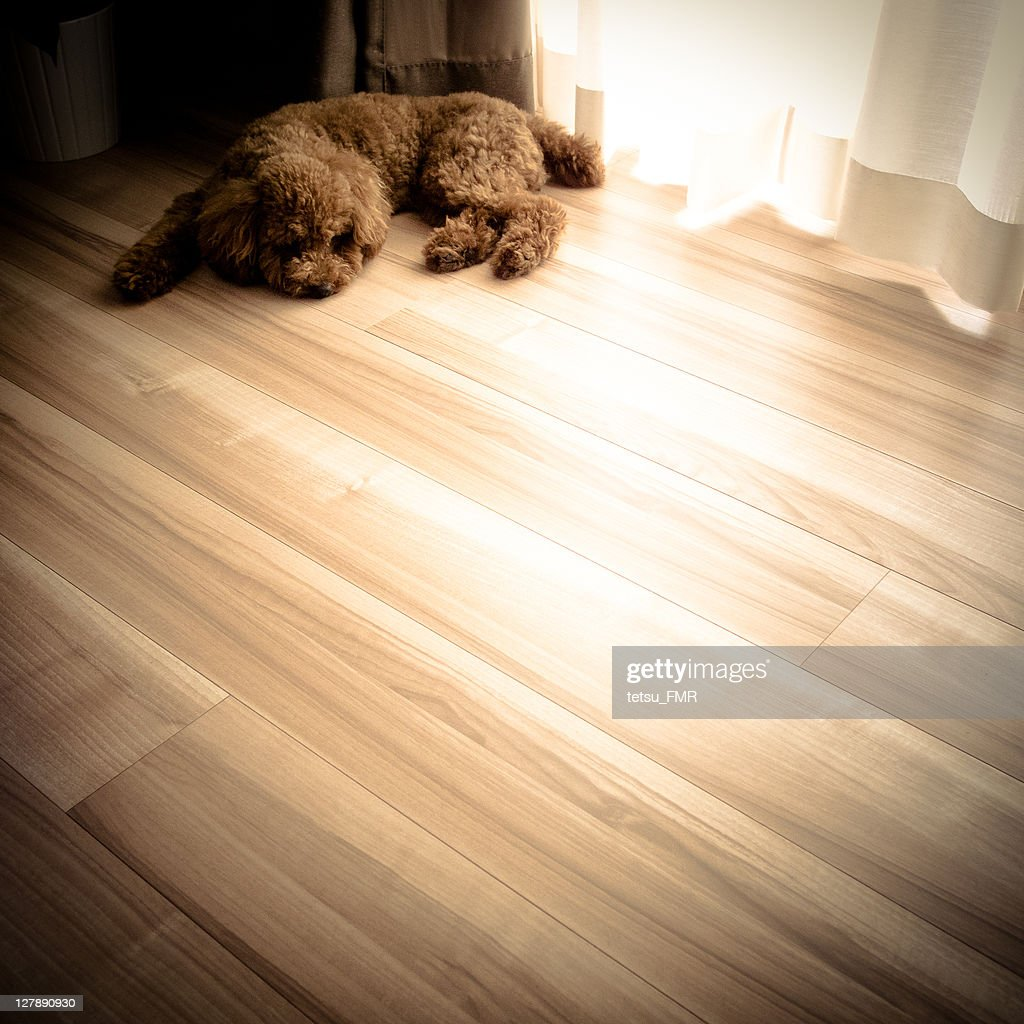 Toy poodle dog : Stock Photo