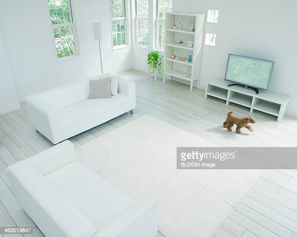 Toy Poodle In Living Room