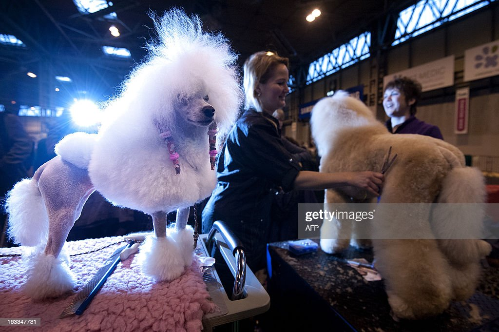A Toy Poodle (L) is seen during the second day of the Crufts dog show in Birmingham, in central England on March 8, 2013. The annual event sees dog breeders from around the world compete in a number of competitions with one dog going on to win the 'Best in Show' category.