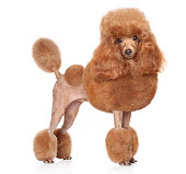 Red Toy Poodle standing in front of white background
