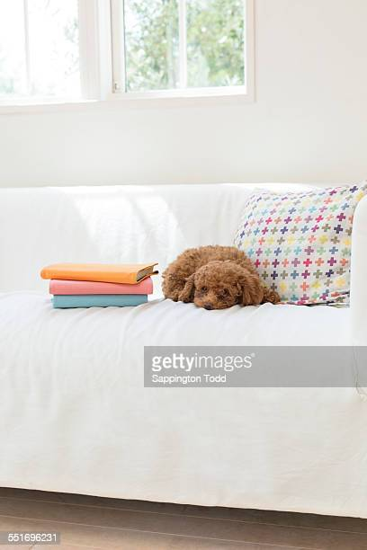 Toy Poodle On Sofa With Book Stack