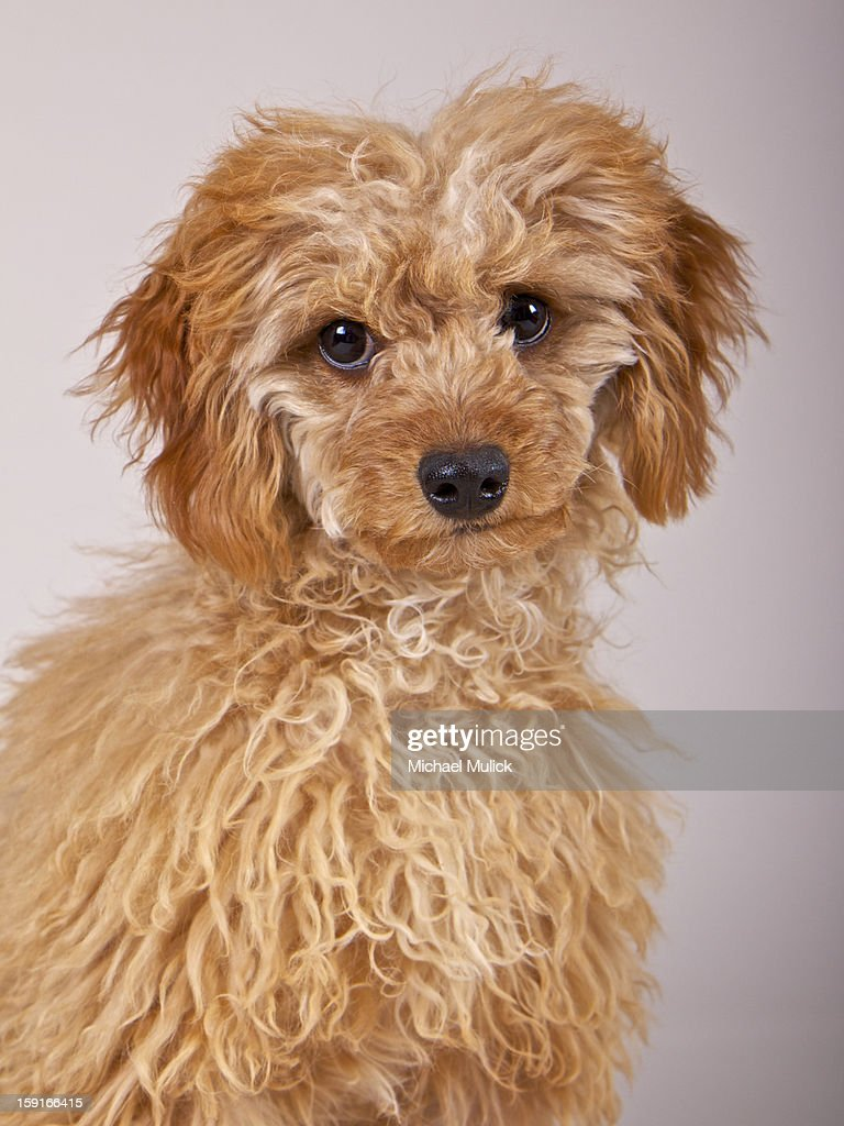 Toy Poodle : Stock Photo