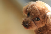 My toy poodle 'Happy'