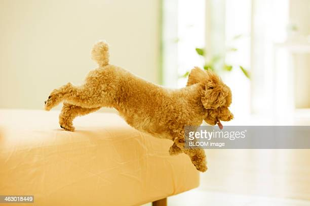 Toy Poodle Playing