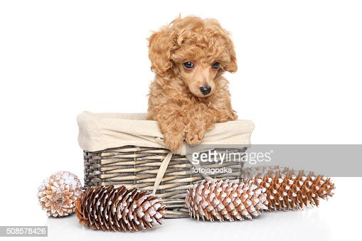 Toy Poodle puppy in basket : Stock Photo