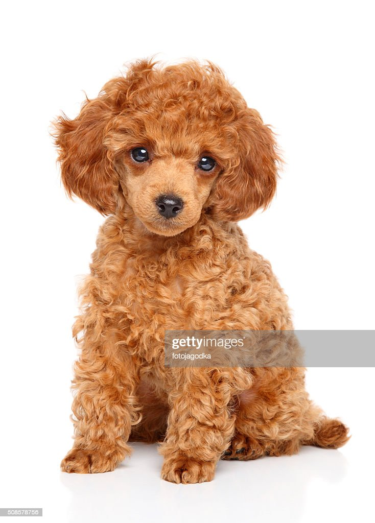 Toy Poodle puppy : Stock Photo