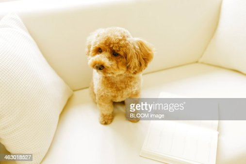 Toy Poodle Sitting On Couch : Stock Photo