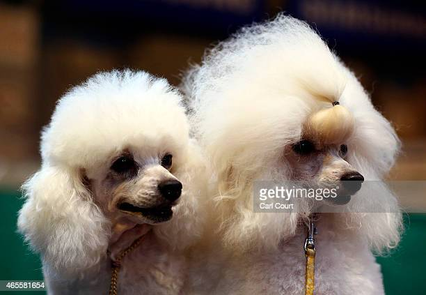 Toy Poodles are seen on the fourth and final day of Crufts dog show at the National Exhibition Centre on March 8 2015 in Birmingham England First...