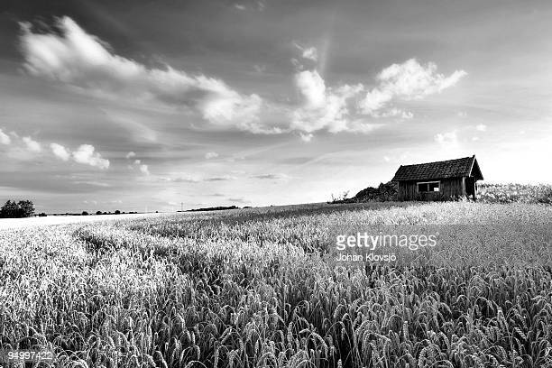 Tracks in a wheat field with shed, black and white