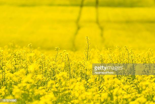 Tracks in Canola field - I