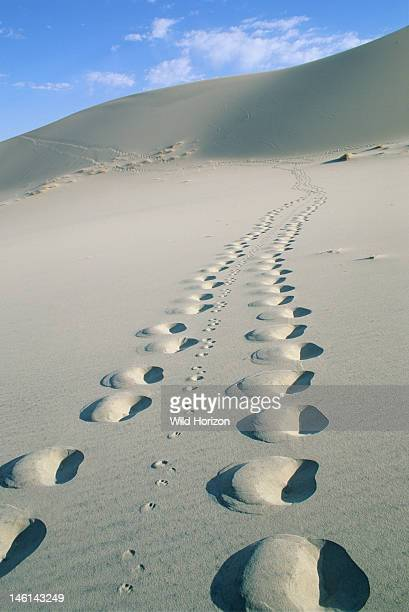 Tracks in sand made by the photographer following a jackrabbit and then returning the way he came Eureka Dunes Death Valley National Park California...