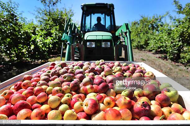 A tractor lifts a box full of freshly picked cortland and gala apples at Russell Orchards in Ipswich Mass on Sept 13 2016 The orchard is dealing with...