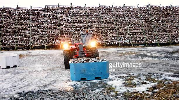 A tractor moves dried Skrei or migrating eastArctic cod that spawns off the Lofoten islands just outside Svolvaer the largest town in Norway's...