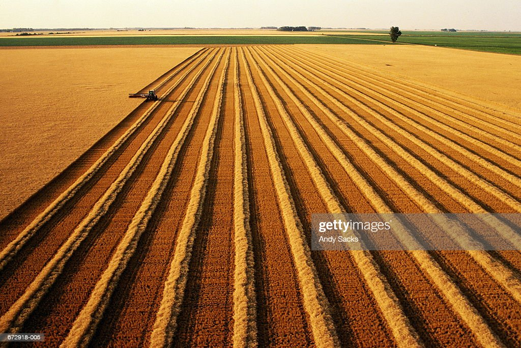 Tractor swathing ripe wheat (Triticum sp.), aerial view