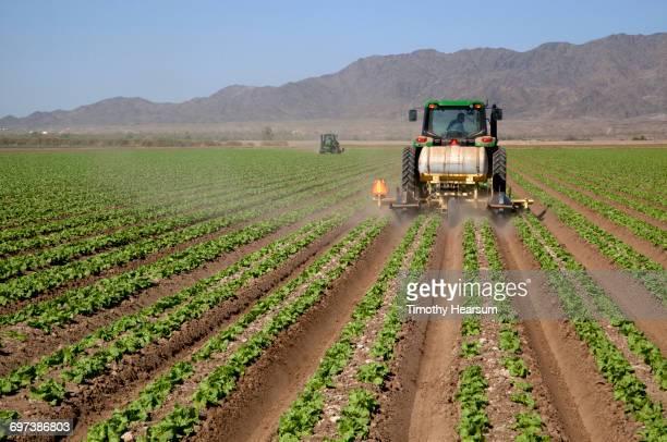 Tractors disking between rows of lettuce plants