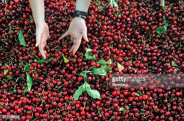 A trader arranges fresh cherries for sale on a stall at a fruit and vegetable market in Podgorica Montenegro on Saturday June 2015 Montenegrin...