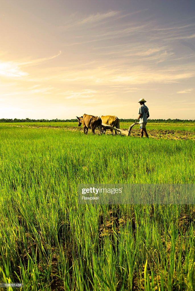 Traditional Farming : Stock Photo